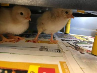 chicks under heat mat