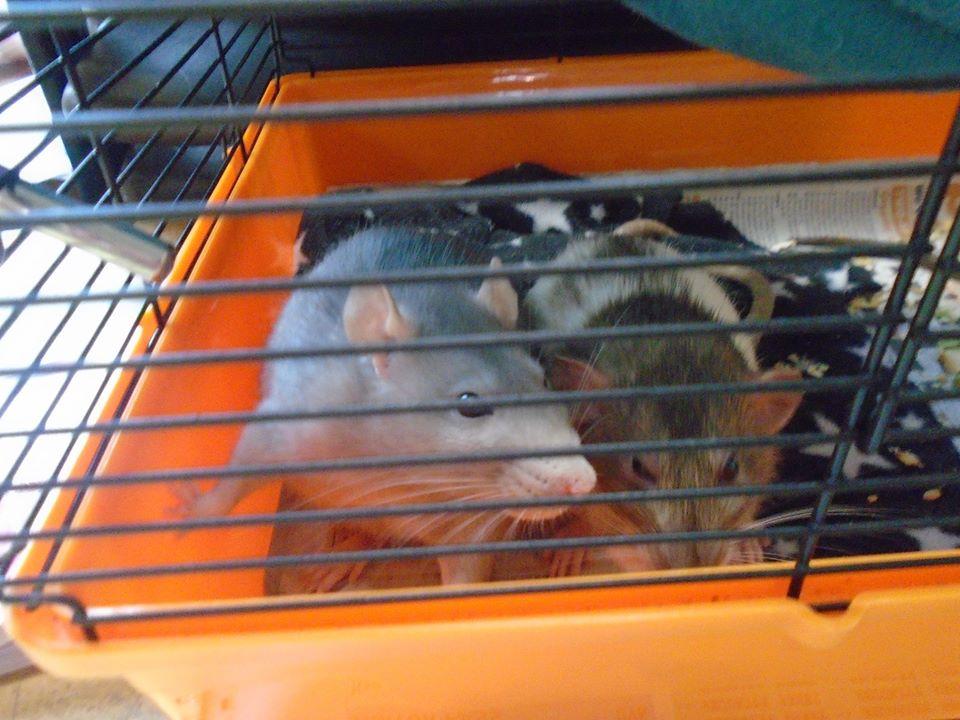 visiting rats jan 2020